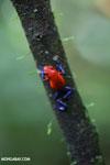 Strawberry dart frog [costa_rica_la_selva_0578]