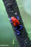 Strawberry dart frog [costa_rica_la_selva_0579]