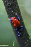 Strawberry dart frog [costa_rica_la_selva_0580]
