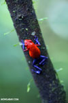 Strawberry dart frog [costa_rica_la_selva_0581]