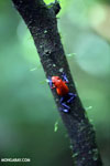 Strawberry dart frog [costa_rica_la_selva_0582]
