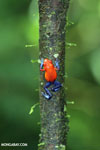 Strawberry dart frog [costa_rica_la_selva_0584]