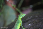 Juvenile green basilisk [costa_rica_la_selva_0616]