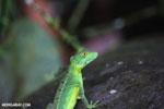 Immature green basilisk [costa_rica_la_selva_0618]