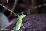 Juvenile green basilisk [costa_rica_la_selva_0620]