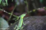 Juvenile green basilisk [costa_rica_la_selva_0623]