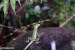 Young green basilisk [costa_rica_la_selva_0625]