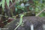 Juvenile green basilisk [costa_rica_la_selva_0626]