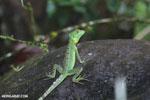 Immature green basilisk [costa_rica_la_selva_0627]