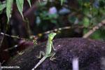 Young green basilisk [costa_rica_la_selva_0628]