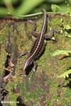 Lizard [costa_rica_la_selva_0630]