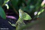 Green basilisk [costa_rica_la_selva_0632]