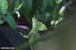 Green basilisk [costa_rica_la_selva_0633]