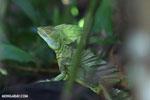 Green basilisk [costa_rica_la_selva_0635]