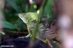 Green basilisk [costa_rica_la_selva_0636]