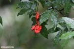 Flowers [costa_rica_la_selva_0637]