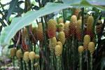 Heliconia comb [costa_rica_la_selva_0640]