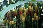Heliconia maracas