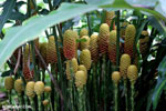 Heliconia maracas [costa_rica_la_selva_0642]