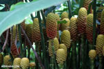 Heliconia maracas [costa_rica_la_selva_0643]