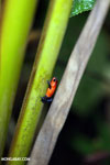 Strawberry dart frog [costa_rica_la_selva_0652]