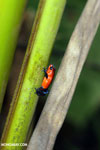 Strawberry dart frog [costa_rica_la_selva_0654]