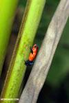 Strawberry dart frog [costa_rica_la_selva_0654]