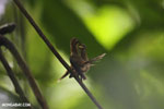 Hummingbird feeding its chick [costa_rica_la_selva_0673]