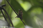 Hummingbird feeding its chick [costa_rica_la_selva_0674]
