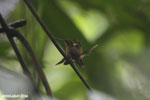 Hummingbird feeding its chick