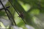 Hummingbird feeding its chick [costa_rica_la_selva_0677]