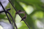 Hummingbird feeding its chick [costa_rica_la_selva_0681]