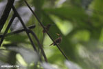 Hummingbird feeding its chick [costa_rica_la_selva_0682]