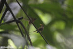Hummingbird feeding its chick [costa_rica_la_selva_0684]