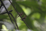 Hummingbird feeding its chick [costa_rica_la_selva_0685]