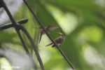 Hummingbird feeding its chick [costa_rica_la_selva_0686]