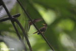 Hummingbird feeding its chick [costa_rica_la_selva_0687]