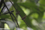 Hummingbird feeding its chick [costa_rica_la_selva_0688]