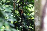 Rufous Motmot (Baryphthengus martii) [costa_rica_la_selva_0693]