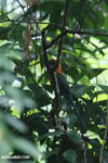 Rufous Motmot (Baryphthengus martii) [costa_rica_la_selva_0694]