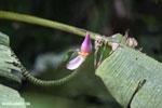 Banana flower [costa_rica_la_selva_0705]