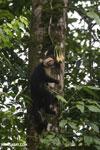 Capuchin monkey in Costa Rica [costa_rica_la_selva_0716]