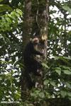 Capuchin monkey in Costa Rica [costa_rica_la_selva_0720]