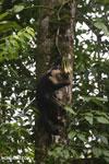 Capuchin monkey in Costa Rica [costa_rica_la_selva_0724]