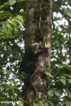 Capuchin monkey in Costa Rica [costa_rica_la_selva_0725]