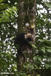 Capuchin monkey in Costa Rica [costa_rica_la_selva_0727]