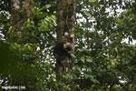 Capuchin monkey in Costa Rica [costa_rica_la_selva_0728]