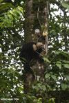Capuchin monkey in Costa Rica [costa_rica_la_selva_0729]