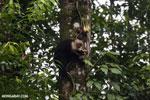 Capuchin monkey in Costa Rica [costa_rica_la_selva_0730]