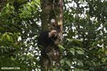 Capuchin monkey in Costa Rica [costa_rica_la_selva_0732]